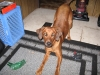 Redbone Coonhound, 1 1/2, red